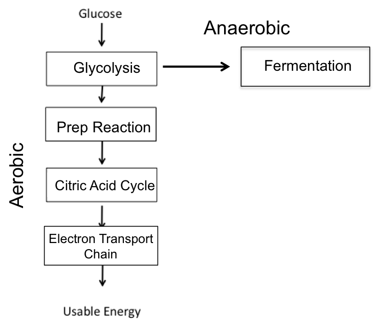Cellular respiration flowchart flowchart in word a simple graphic representation of cellular respiration downhousesoftware ccuart Images