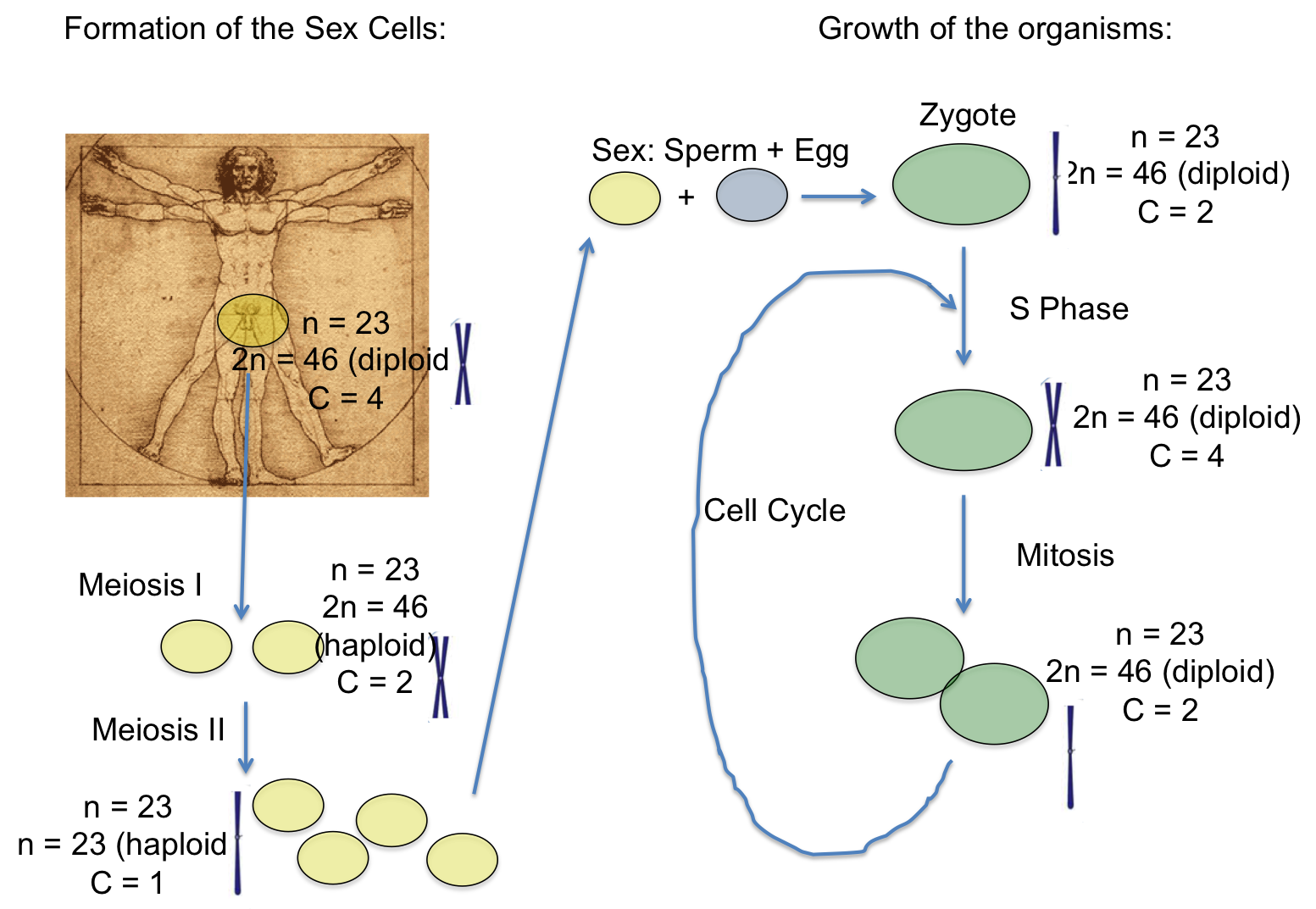 meiosis downhousesoftware 1 comment