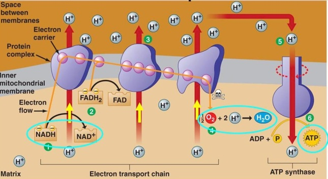 electron-transport-chain-cpg-notes