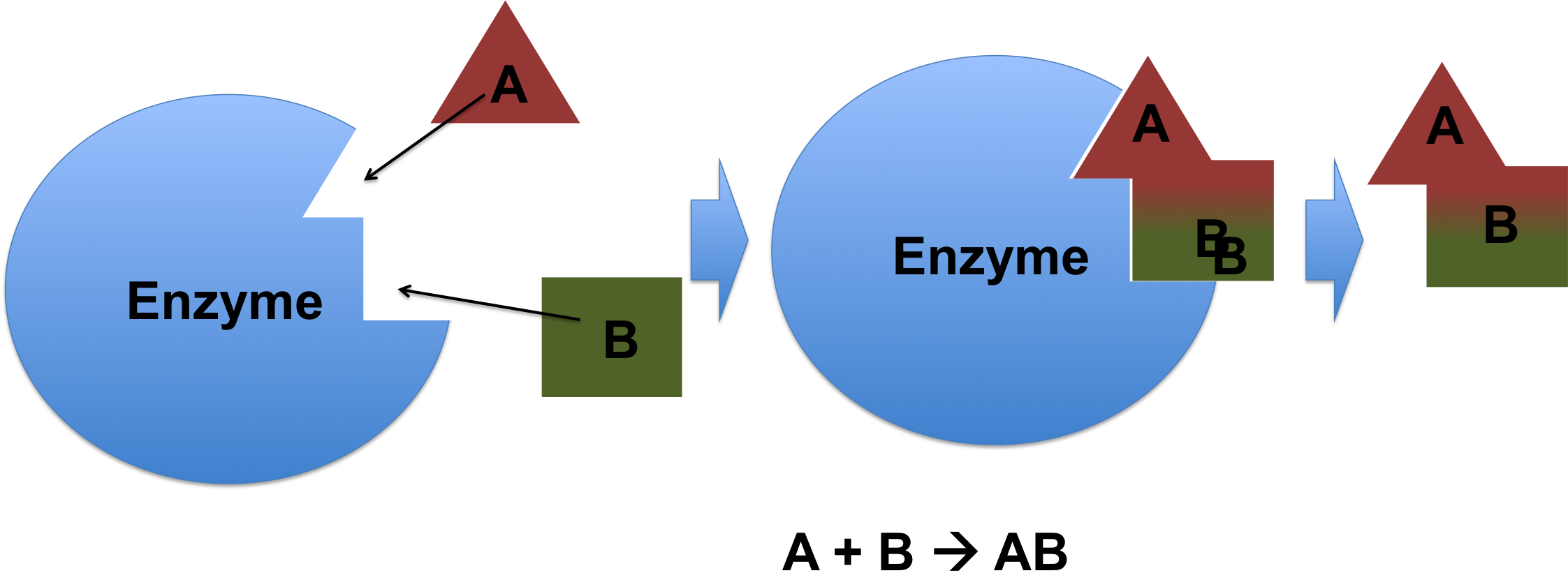 Teas test questions on the action of enzymes downhousesoftware an enzyme processing a substrate a b ab pooptronica Images