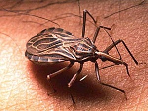 We have related insects here in the US, but not the same Kissing Bugs.