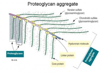 peptidoglycan and proteoglycan downhousesoftware
