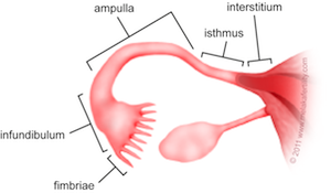 structures of the female reproductive system  focus on terminology downhousesoftware Endocrine System Diagram Labeled Women of Reproductive System Diagram Internal