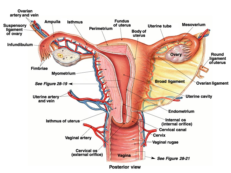 Structures of the Female Reproductive System, Focus on Terminology ...