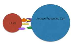T Cells 'see' antigen through presentation in the context of MHC molecules on the surface of Antigen Presenting Cells (APCs)